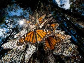 揭开帝王斑蝶迁徙的神秘面纱
