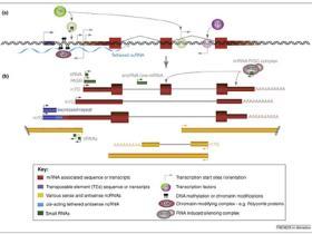 非编码RNA与基因组调控网络